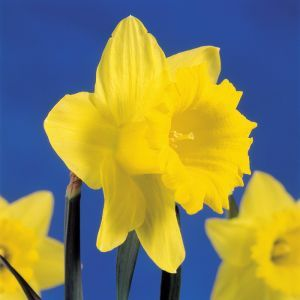 Narcissus Trumpet Yellow