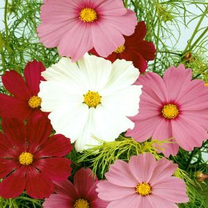 Cosmos Sensation Seed Bag Picture