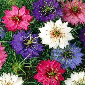 Love in a mist Seed Bag Picture