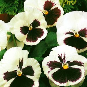 Viola pansy 'Silverbride' Seed Bag Picture
