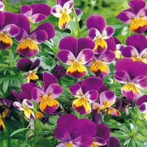 Viola pansy 'Johnny Jump Up' Seed Bag Picture