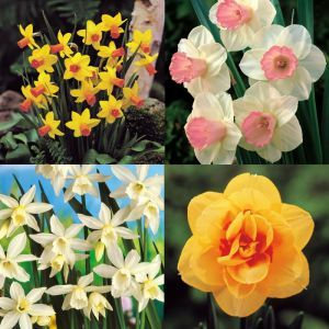 Narcissi Exotic Collection (4 x 10) A