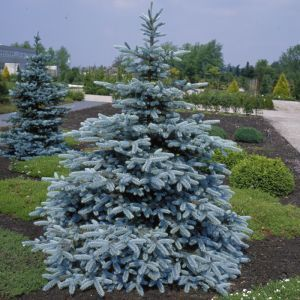 Picea pungens Hoopsii 14 cm pot