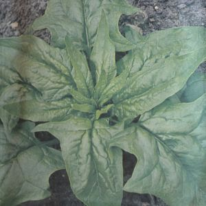 Spinach A,dam large leaved seed bag
