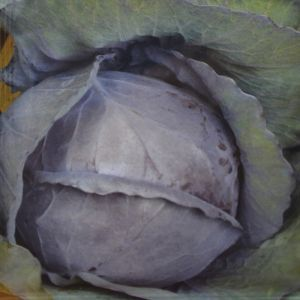 Cabbage Red Langedijker Winter (late) seed bag
