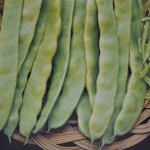 Climbing French Beans seed box
