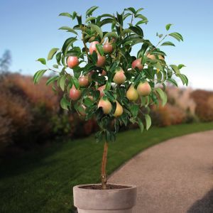 Standard Pear Tree Clapps Favourite 100