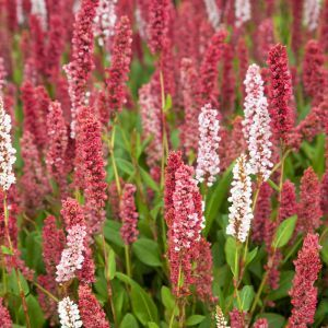 Persicaria affinis Kabouter 9 cm
