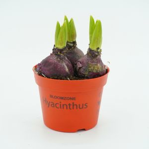 Hyacinth Red in pot